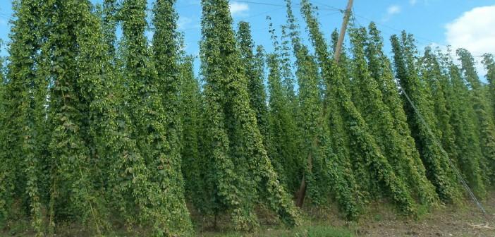 Cowichan Valley Beer