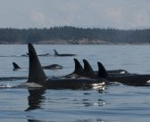 Biggs Killer Whales Are Here To Stay