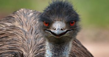 No Need To GMO This Emu Doesn't Bruise