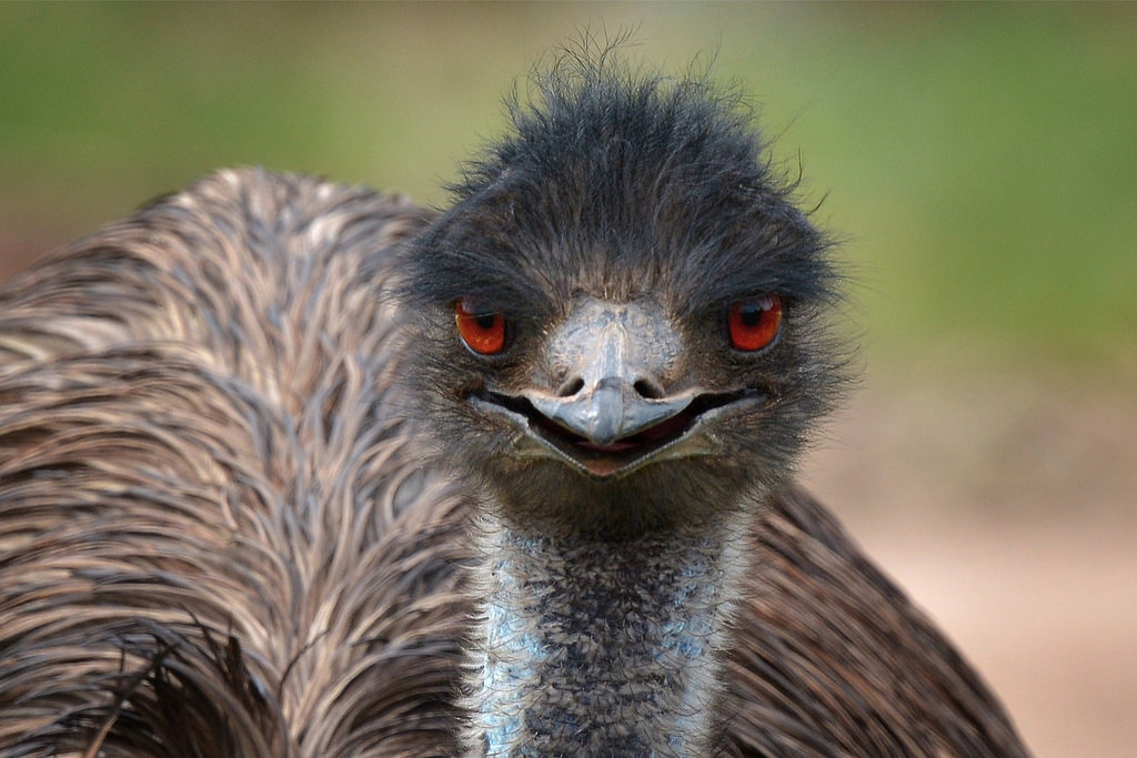 No Need To Gmo This Emu Doesnt Bruise